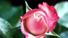 How to make homemade rose