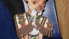 How to call a dog-Chihuahua