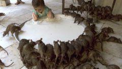 Как отпугнуть крыс