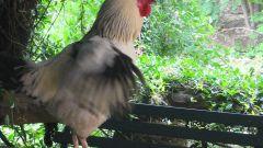 Как приготовить куриные шейки