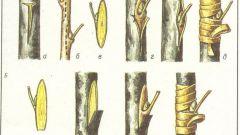 Как прививать плодовые деревья