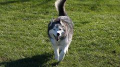 Как определить, что у собаки течка
