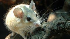 Как содержать мышь