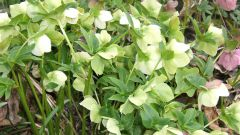 How to drink hellebore for weight loss