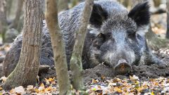 How to catch a wild boar