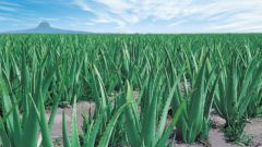 How to prepare the medicine from aloe