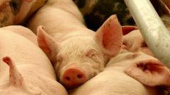 Как вырастить свинью