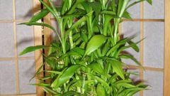 Как вырастить в доме бамбук