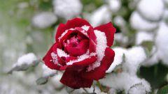 Как сохранить плетистые розы