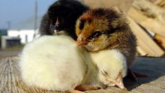 Как вырастить птенцов
