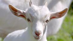 Как кормить козлят