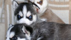 Как воспитать щенка лайки