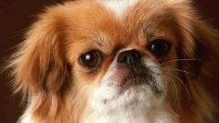 How to train a Pekingese