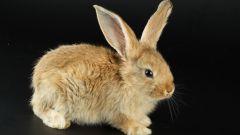 Как отличить пол кролика