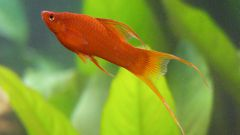 How to distinguish female from male swordtail