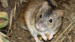 How to get rid of mice voles