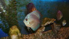 Как подменять воду в аквариуме