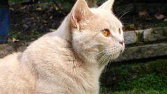 Как выбрать шотландского котенка