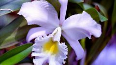 Как подкармливать орхидею