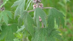 How to drink motherwort tincture