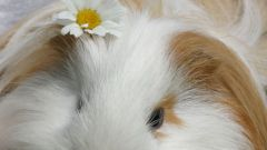 How to cut Guinea pig claws