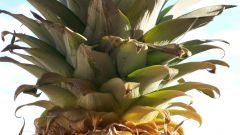 Как посадить верхушку ананаса