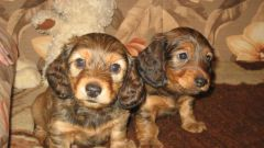 How to raise a Dachshund puppy