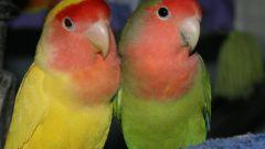 Как мыть волнистых попугаев