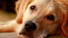 Как приучить к лотку взрослую собаку
