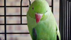 Как покупать волнистого попугая