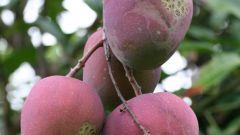 Как употреблять манго