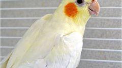 Как узнать пол попугая корелла