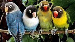 Как отличить попугаев-неразлучников