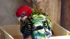 Как организовать купание попугаю