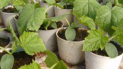 Как вырастить раннюю рассаду