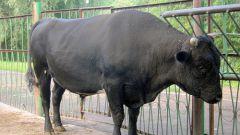 Как узнать вес быка