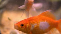 Как отличить пол золотых рыбок