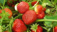 How to plant strawberry seeds
