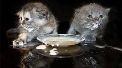Как приучить котенка к молоку
