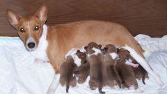 Как понять, что собака рожает