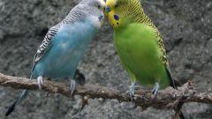 Как разводить волнистых попугайчиков