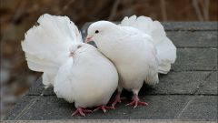 How to breed pigeons