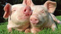 Как определить свиной грипп