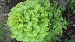 Как приготовить зеленый салат