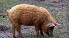 Как построить мини-свиноферму