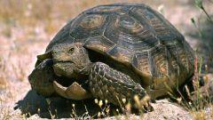 Как подготовить черепаху к спячке