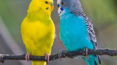 Как определить, сколько лет попугаю