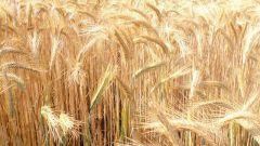 Как сеять хлеб