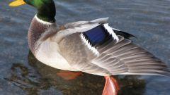 Как отличить селезня от утки
