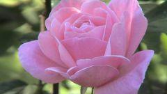 Как обрезать розы в зиму